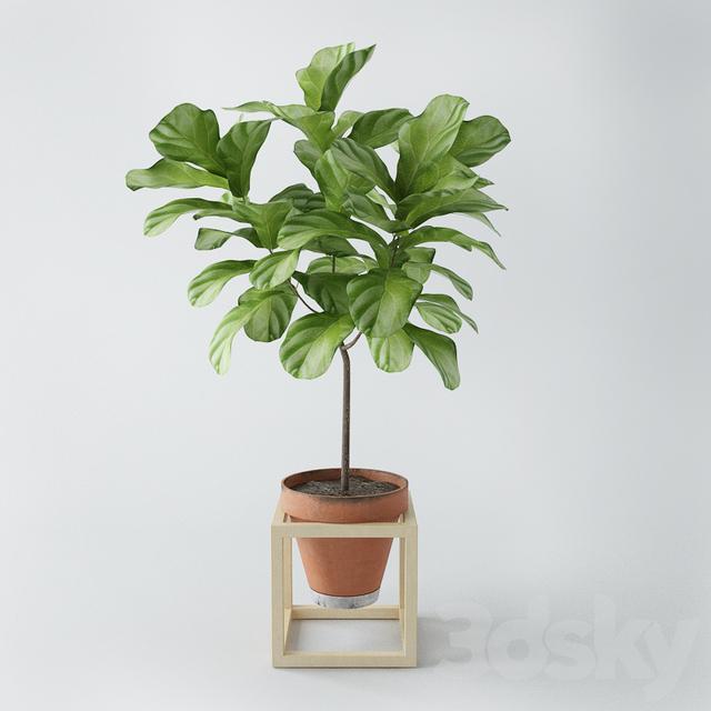 Ficus lyrata / ficus lyrata