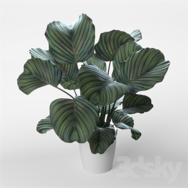3d models plant calathea orbifolia. Black Bedroom Furniture Sets. Home Design Ideas