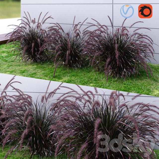 Ornamental grass Fountaingrass purple dark