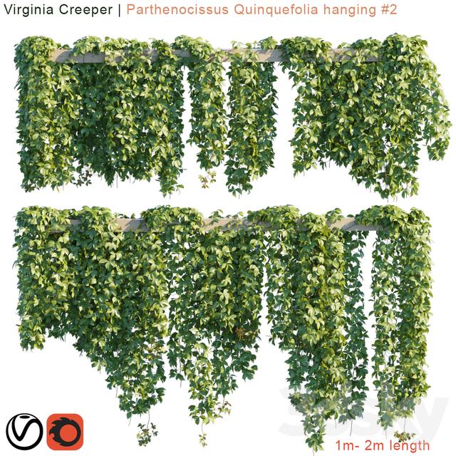 Virginia Creeper   Parthenocissus Quinquefolia hanging # 2   10 module