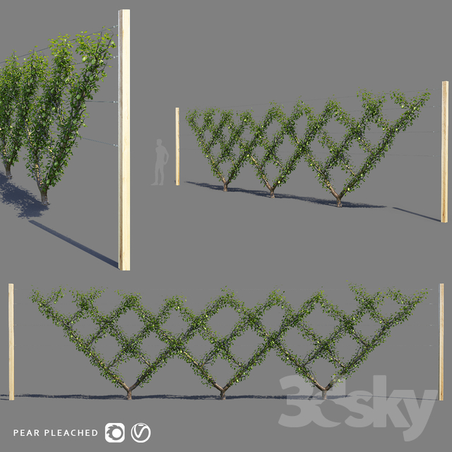 Pear shape screen trellis | Pear pleached