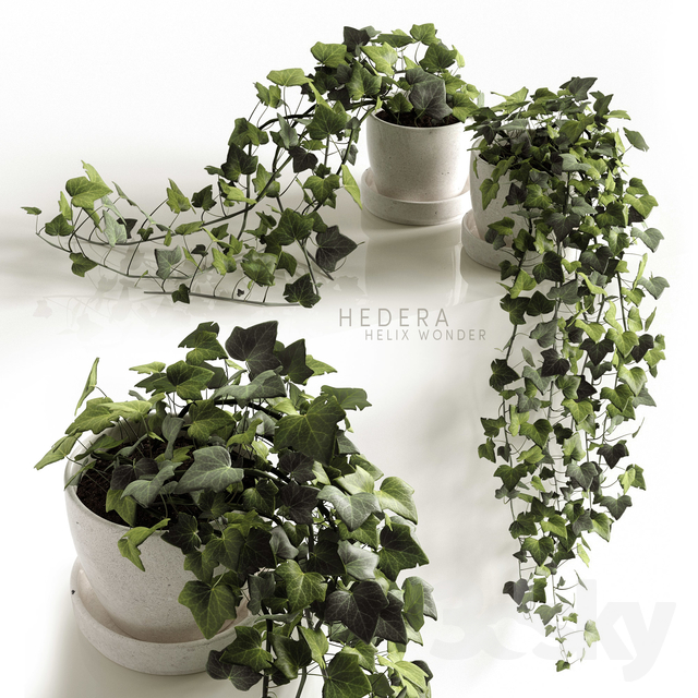 3d models: Indoor - Hedera Helix wonder