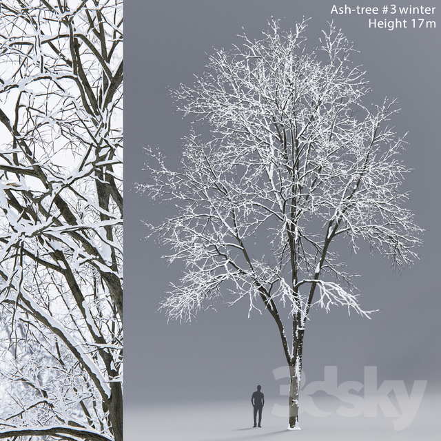 Winter Ash | Ash-tree winter # 3 (17m)