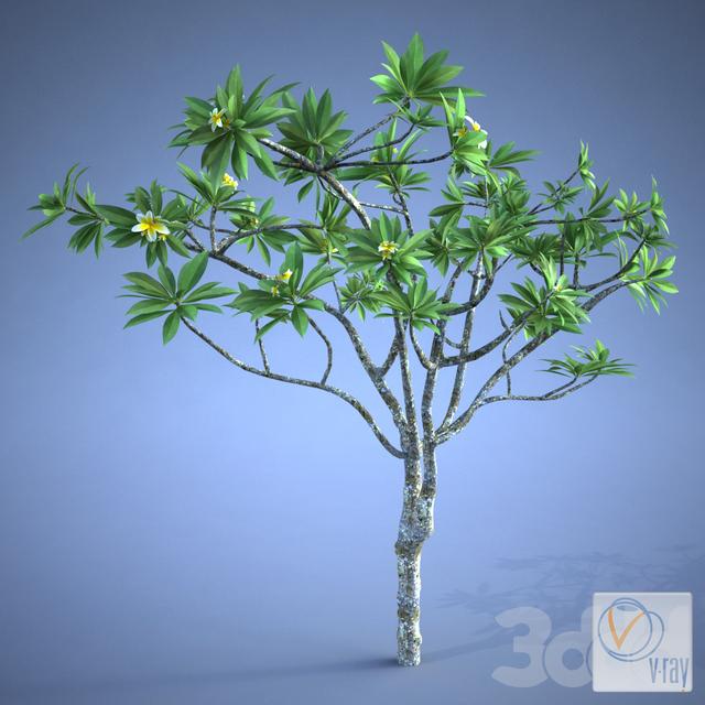 Plumeria_plant