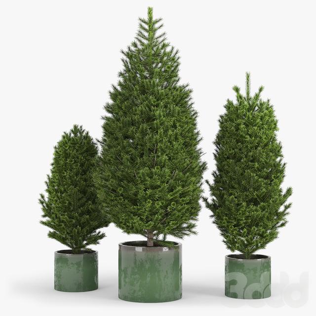 Fir tree Пихта