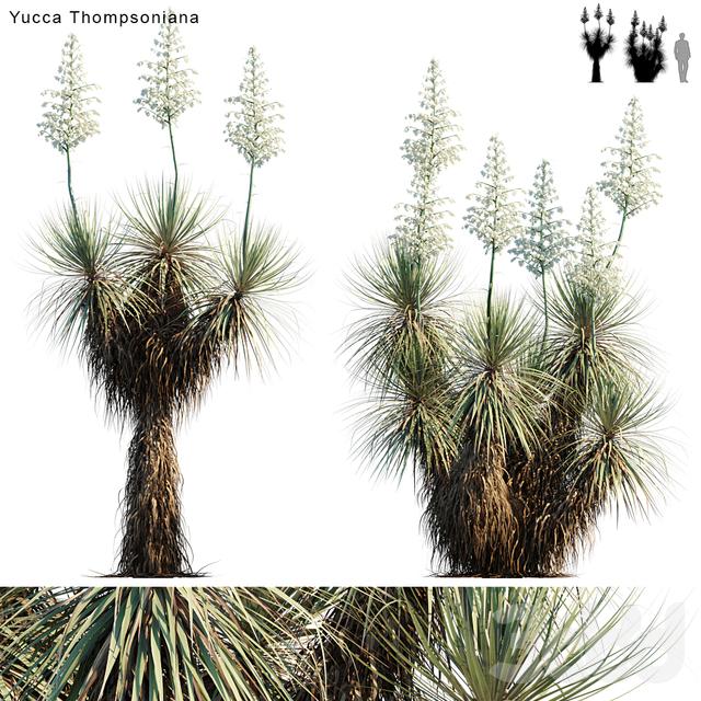 Yucca Thompsoniana | Beaked Yucca