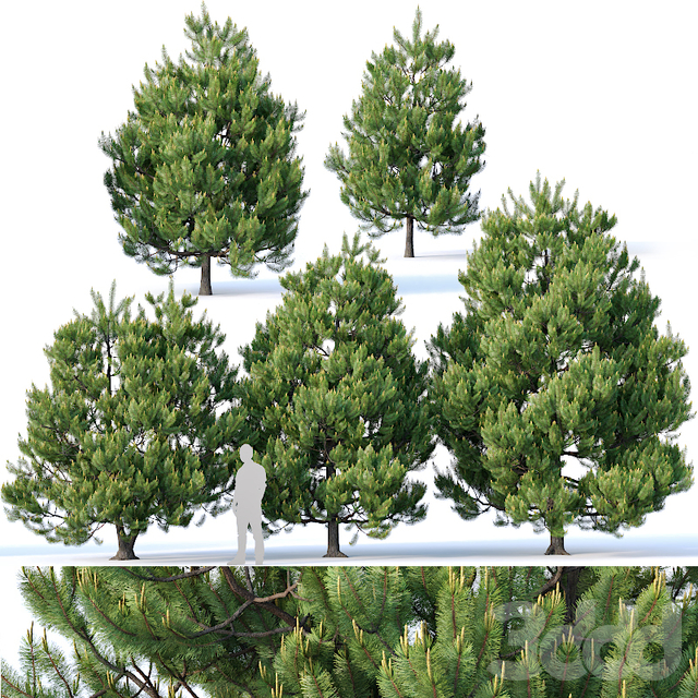 Pinus sylvestris Nr3. H3-6m V2. Five tree set