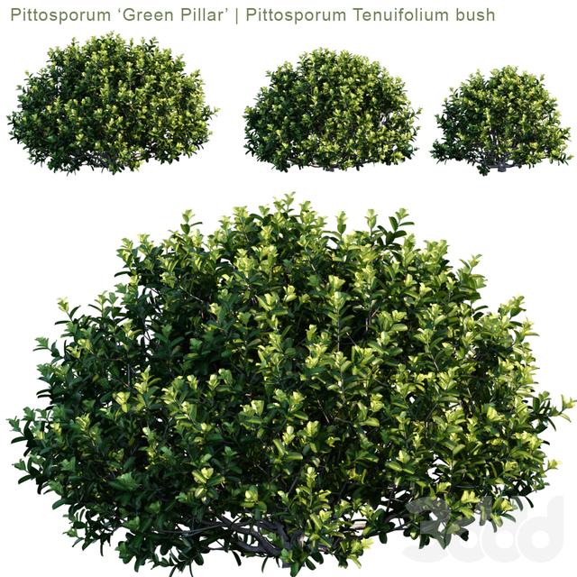 "Pittosporum ""Green Pillar""   Pittosporum Tenuifolium bush"