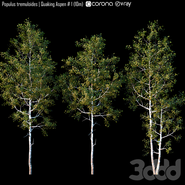 Populus tremuloides | Quaking Aspen # 1 (10m)