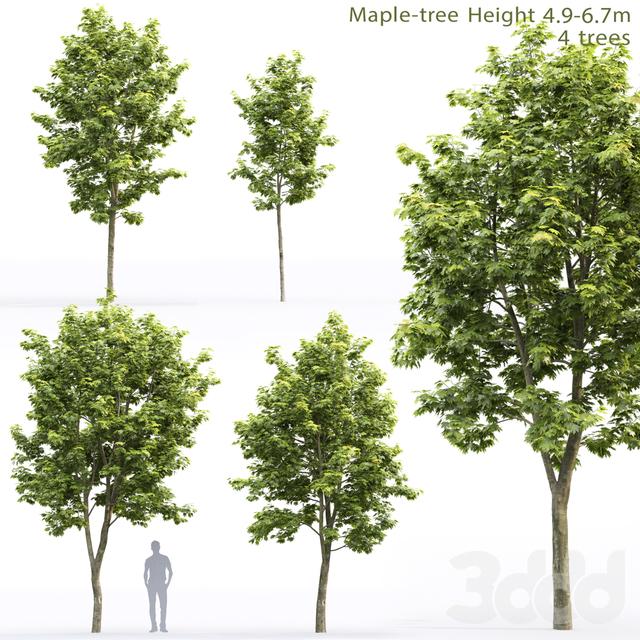 Клён | Maple-tree #11 (4.9-6.7m)