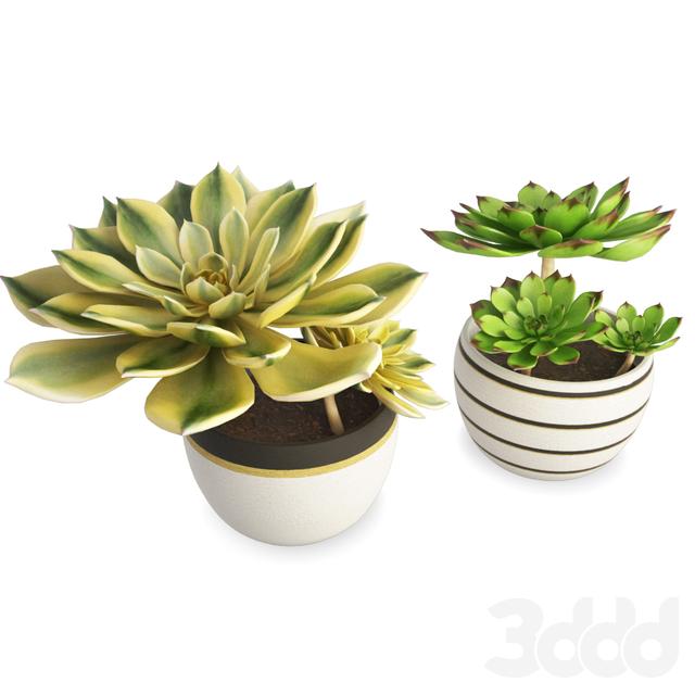 Two Interior Succulent Plants