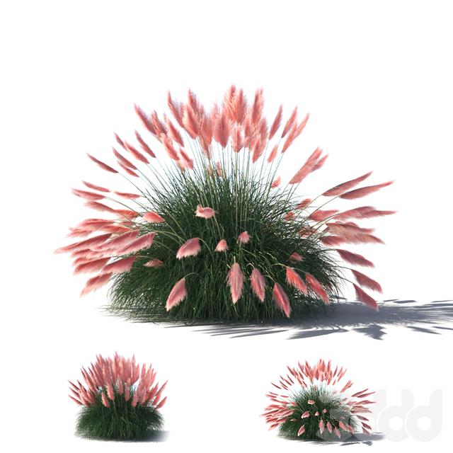 "Cortaderia selloana ""pampas grass"""