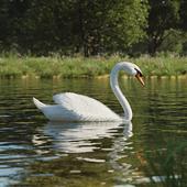Белый лебедь на пруду