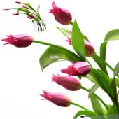 Молодые королевские тюльпаны.