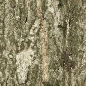 Текстура коры осины