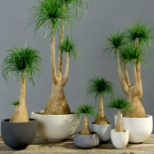 Group Bokarneya palms (Beaucarnea)