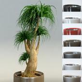 Bokarneya Palm (Beaucarnea) in pots Lechuza Rondo