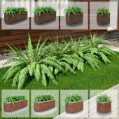 Fern / Nephrolepis in wooden and brick tubs