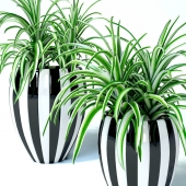 Chlorophitum in striped pots