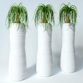 Nolina palm