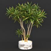 Алоэ дихотомическое (колчанное дерево)