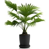 FAN PALM PLANTS 21