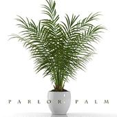 PARLOR PALM P23