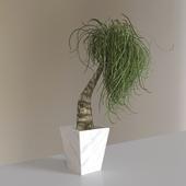 The plant - PonytailPalm