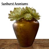 Sunburst Aeoniums