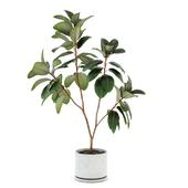 Ficus elastica decora (large)