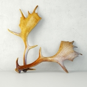 Naturally Shed Moose Antlers