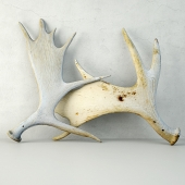 Naturally-Shed Moose Antlers