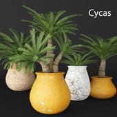 Cycas collection