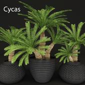Cycas palm set