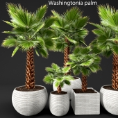 A set of palm trees. Washington. Brahea edulis
