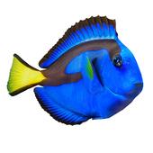 "Dory fish or ""Paracanthurus hepatus"""