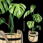 Monstera in a wooden tub