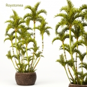 Roystonea