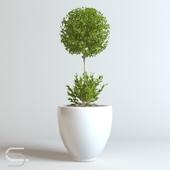 Plant CEDE 01