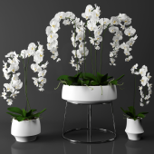 Orchid (phalaenopsis) set