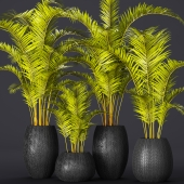 A collection of palms in pots 2