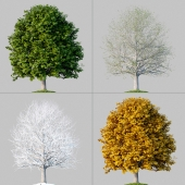 Oak_001_4_Seasons
