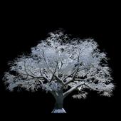 Заснеженное дерево, бук