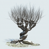 Гремучая ива (зима)