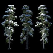 Большая сосна в снегу