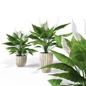 Спатифиллум/Spathiphyllum