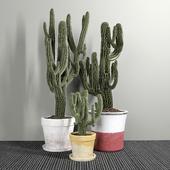 Set of Three Cactuses Carnegiea