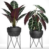 Коллекция растений. Алоказия. 30