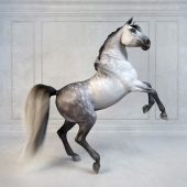 Andalusian Stallion. The Spanish horse.