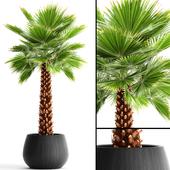 """Fan palm """"Yalta"""""""